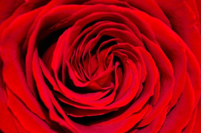 rot rose